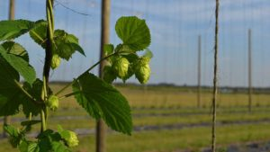 USDA to Investigate Vernalization in Florida-Grown Hops