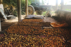 Apricot Research Aids Asian Export Market