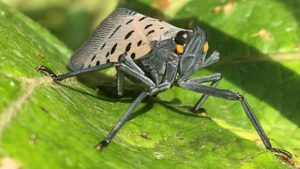 Spotted Lanternfly Now a Threat to New Jersey Fruit Crops