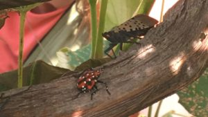 Spotted Lanternfly on the Move in New Jersey