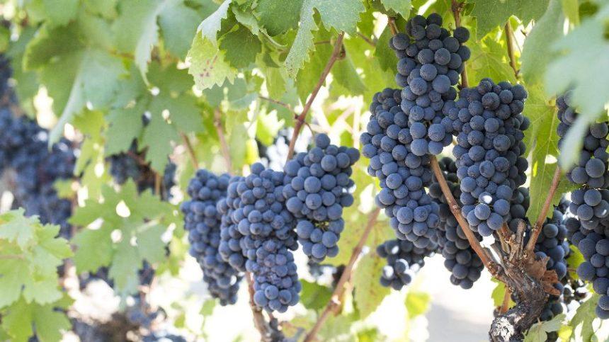 California Winegrowers Report Excellent Harvest