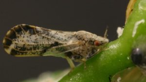 Chemical Rotation Critical to Citrus Psyllid Control