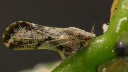 How Florida Growers are Taking the Fight to Citrus Psyllids