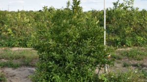 Express Lanes Open to Find Latest Citrus Variety Trends