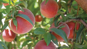 Wawona Packing Makes Play to Boost Stone Fruit Portfolio