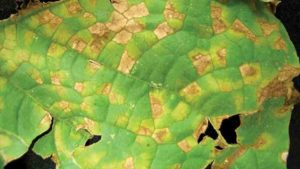 Field Scouting Guide: Cucurbit Downy Mildew