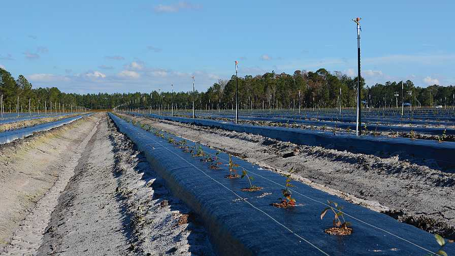 New blueberry planting at Florida Blue Farms