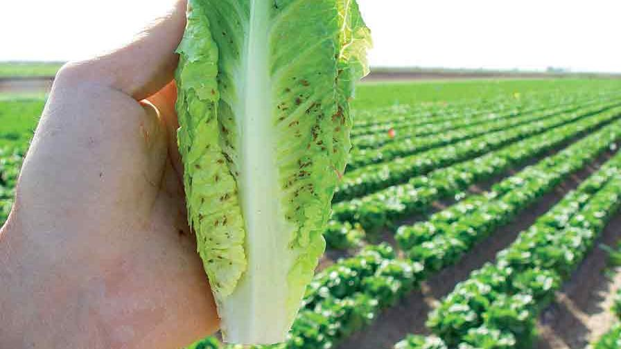 Romaine-heart-contaminated-with-lettuce-aphids-FEATURE