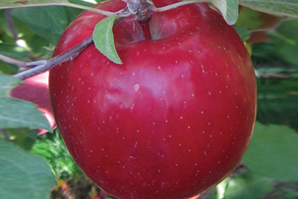 'Cripps Pink' Sport, One-Pick 'Gala' at Van Well Nursery