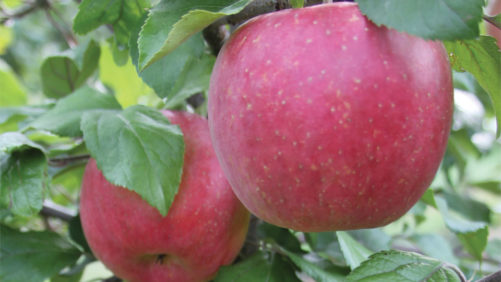 Young Woman to Lead New York Apple Growers