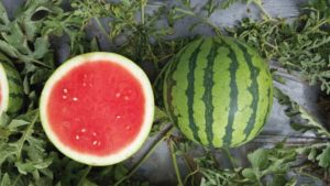 15 Watermelons You Should Check Out