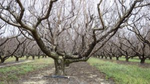 New Herbicide Gives Fruit Growers Tool for Tough Weeds