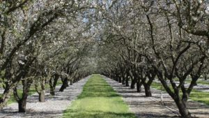 Record-Breaking Almond Crop Predicted for 2018