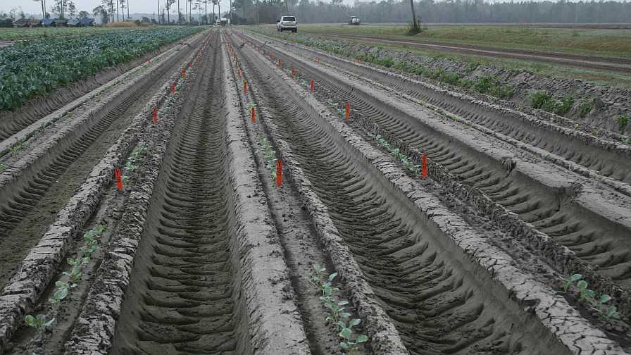 Eastern Broccoli Project plot in Northeast Florida