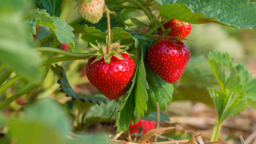 Protection for Strawberries, from the West Coast to the East Coast