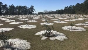 Cold Weather Puts New Northern Citrus Plantings to the Test