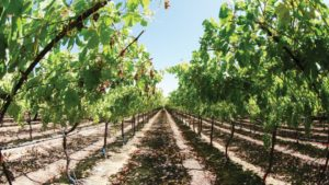 Tips to Make the Most of Nitrogen Applications for Grapes
