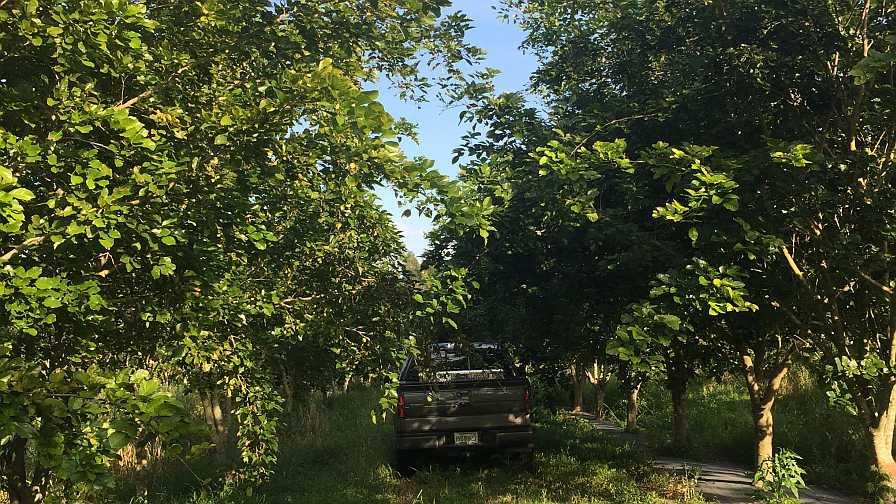 Row of pongamia trees