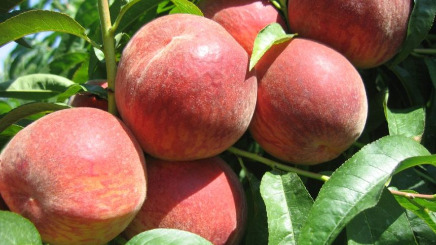 Time is Ripe for Michigan Spring Peach Meeting