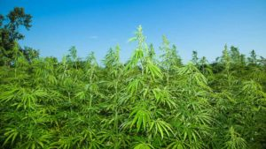 Industrial Hemp on the Radar for Florida Farmers and Researchers