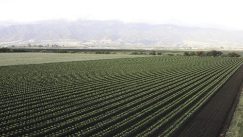 Intercropping Insectary Plants without Losing Production Space