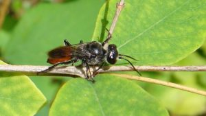 New Brown Marmorated Stink Bug Enemy Found in PNW Garden
