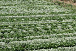 Brennan-insectary-study_testing-alyssum-and-romaine-planting-combos