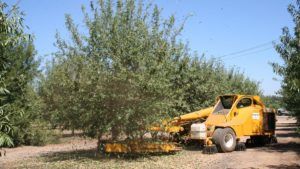Record-Breaking Almond Crop Projected