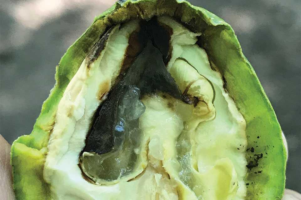 Walnut blight interior symptoms