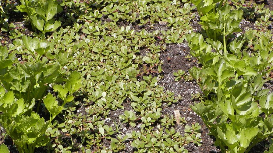 Everything about Where Can I Buy Purslane Seeds