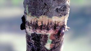 Infection Threatens Young Almond Orchards