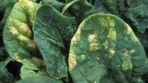 Spinach Crop Down in the Dumps? It Might be Blue Mold