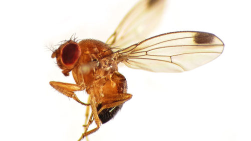 Michigan Fruit Growers on High Alert for Spotted Wing Drosophila