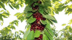 IFTA Summer Tour Rolls North of the Border With Cherries on Top