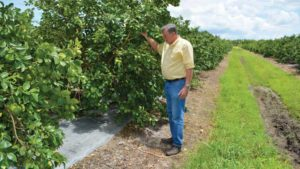 Metalized Reflective Mulch a Bright Spot for Citrus