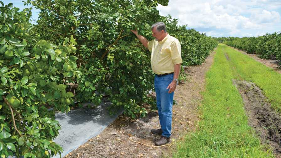 Bob Adair inspects citrus trees planted on reflective mulch