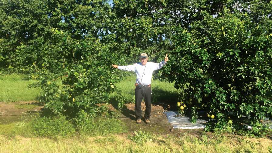 Phil Stansly marks citrus tree size differential between bare ground vs. metalized mulch