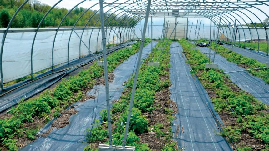 Generate More Profits with Organic Berry Production