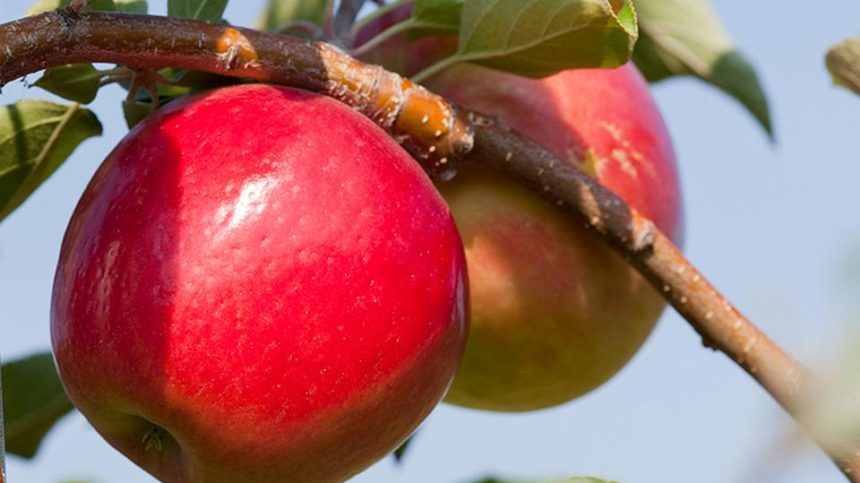 University of Minnesota Debuts 'First Kiss' Early Apple
