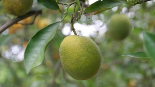 Can Plant Hormone Therapy Relieve Citrus Greening Grief?