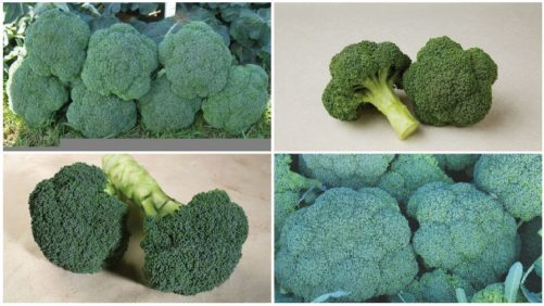 Check Out the Latest Broccoli Varieties