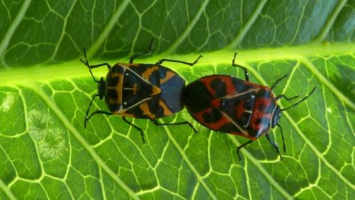 Researchers Discover How Stink Bugs Use Pheromones