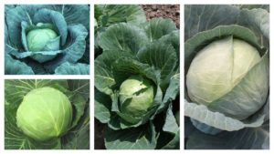 11 Cabbage Varieties Perfect for Today's Growers