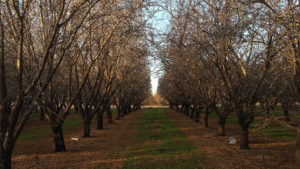 Early Leaf Drop Can Decimate Next Year's Almond Crop