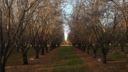 Why California Almond Growers Can Skip Nitrogen Application This Fall