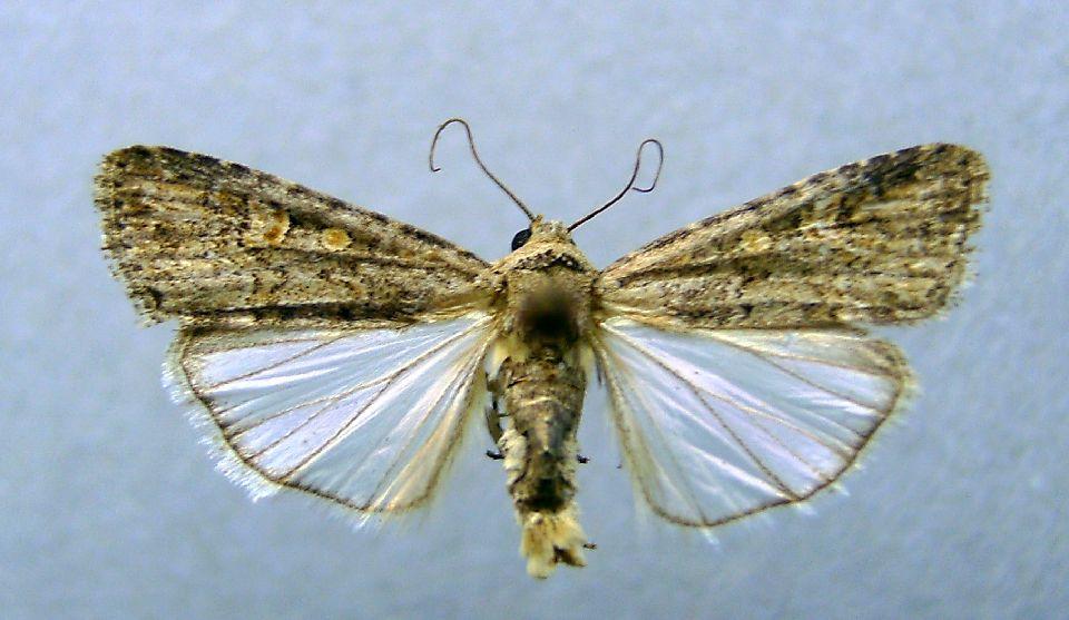 Beet-armyworm-moth