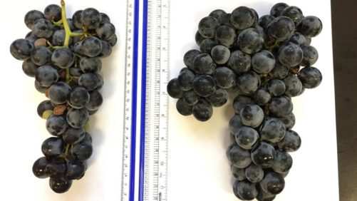 Cornell Scientists Bring New Cold-Hardy Seedless Grape to the Table