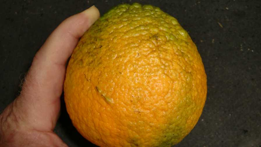 Sun Dragon navel orange