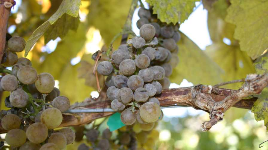 Bunches of grapes showing Powdery Mildew symptoms