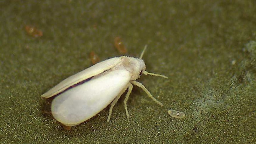 Pepper Whitefly Can Put Growers in a Pickle